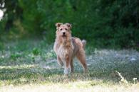 Фото: Американский бульдог : Отдам в хорошие руки молодую собаку девочку Квин.