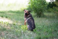 Фото: Американский бульдог : Отдам в хорошие руки молодую собаку Изи.