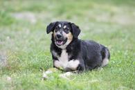 Фото: Ориентальная короткошёрстная : Отдам в хорошие руки молодую собаку Ласунку.