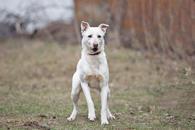 Фото: Американский бульдог :  Отдам в хорошие руки молодую собаку Скайлор.