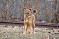Фото: Американский бульдог : Отдам в хорошие руки собаку подростка девочку Палому.