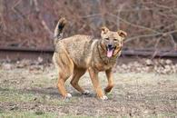Фото: Западносибирская лайка : Отдам в хорошие руки собаку подростка девочку Палому.