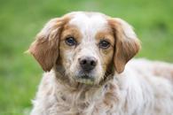 Фото: Ориентальная короткошёрстная : Отдам в хорошие руки пса Формана, породы беретонский эпаньол
