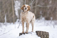 Фото: Ориентальная короткошёрстная : Отдам в хорошие руки пса Формана, породы бретонский эпаньоль