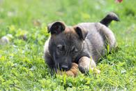 Фото: Ориентальная короткошёрстная : Отдам в хорошие руки щенка девочку Алекса