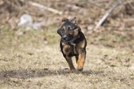 Фото: Ориентальная короткошёрстная : Отдам в хорошие руки щенка мальчика Рокки.