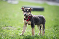 Фото: Ориентальная короткошёрстная : Отдам в хорошие руки щенка мальчика Воланда