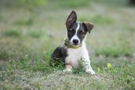 Фото: Ориентальная короткошёрстная : Отдам в хорошие руки щенка мальчика Якоба