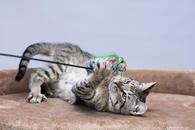 Фото: Ориентальная короткошёрстная : Отдам в хорошие руки юного котика Литона
