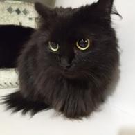 Фото: Скоттиш фолд (шотландская вислоухая) : Передержка - Мур-Мяу, гостиница для кошек