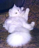 Продам ангорских котят