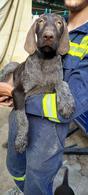Продам щенков Дратхаара (немецкая жесткошёрстная легавая)
