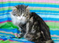 Фото: Ориентальная короткошёрстная : Пушистый вельможа котик Степан ищет дом!