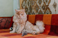 Фото: Ориентальная короткошёрстная : Рыжий котик Мокки с одним глазиком ищет дом.