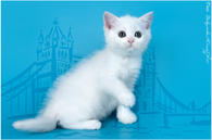 Скоттиш страйт цена котенка фото