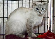 Фото: Ориентальная короткошёрстная : Тайская кошечка Любимица ищет дом.